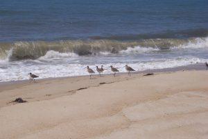 Killdeer birds on the beach